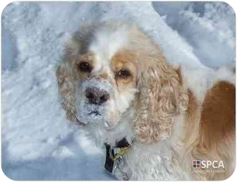 Spaniel (Unknown Type) Mix Dog for adoption in Ste-Agathe des Monts, Quebec - Meo