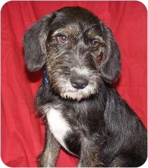 Schnauzer (Standard) Mix Dog for adoption in Oswego, Illinois - Macy