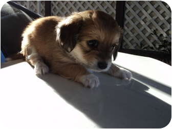 Chihuahua Mix Puppy for adoption in Morgan Hill, California - Male brown/white