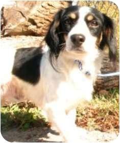 King Charles Spaniel Mix Dog for adoption in Oswego, Illinois - Spangles