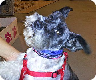 Schnauzer (Miniature) Mix Dog for adoption in North Benton, Ohio - Mickey