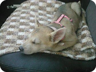 Shiba Inu/German Shorthaired Pointer Mix Puppy for adoption in Centennial, Colorado - Tsukiko