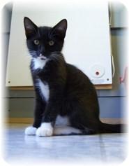 Domestic Shorthair Kitten for adoption in Shelton, Washington - Colleen