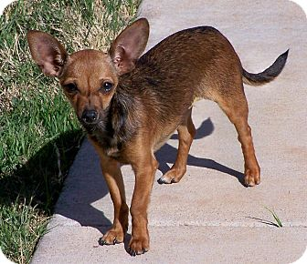 Chihuahua Dog for adoption in San Angelo, Texas - Taffy