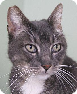 Domestic Shorthair Cat for adoption in Van Nuys, California - Eros