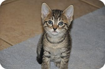Domestic Shorthair Kitten for adoption in New Smyrna Beach, Florida - Loppy~ (6 weeks old)