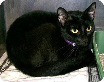 Domestic Shorthair Cat for adoption in Chesapeake, Virginia - Mimi