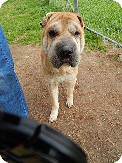 Shar Pei Dog for adoption in Houston, Texas - Belle