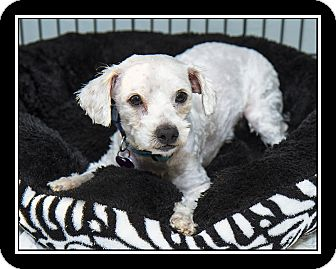 Maltese Mix Dog for adoption in San Diego, California - Bruno