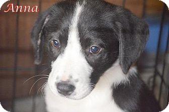 Labrador Retriever/Border Collie Mix Puppy for adoption in Woodlyn, Pennsylvania - Anna