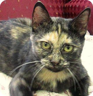 Domestic Shorthair Cat for adoption in Lloydminster, Alberta - Cydney