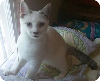 Siamese Cat for adoption in High View, West Virginia - Avery