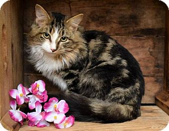 Domestic Mediumhair Cat for adoption in Germantown, Maryland - Butterbur - Polydactyl - At Petco