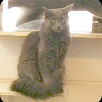 Domestic Longhair Cat for adoption in Bryson City, North Carolina - Hendrix