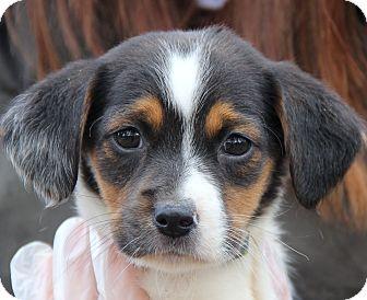 Beagle/Chihuahua Mix Puppy for adoption in Minnetonka, Minnesota - KRIS - cute, cute, cute