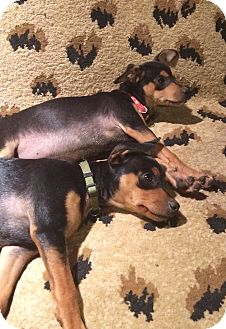 Miniature Pinscher/Chihuahua Mix Puppy for adoption in Englewood, Colorado - Green Godess