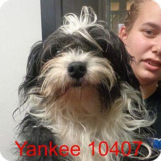 Shih Tzu/Poodle (Miniature) Mix Dog for adoption in Manassas, Virginia - Yankee