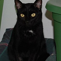 Domestic Shorthair Cat for adoption in Brainardsville, New York - Coco
