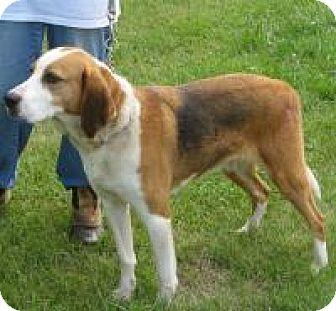 Treeing Walker Coonhound/Hound (Unknown Type) Mix Dog for adoption in Mineral, Virginia - Morgan D61