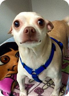 Chihuahua Dog for adoption in Elmhurst, New York - Troy