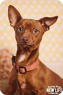 Dachshund/Miniature Pinscher Mix Dog for adoption in Portland, Oregon - Beans