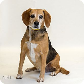 Beagle Mix Dog for adoption in Naperville, Illinois - Cookie