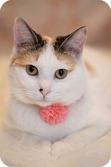 Calico Kitten for adoption in Tega Cay, South Carolina - Baby Ruth