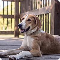 Adopt A Pet :: Dixie - Springfield, IL