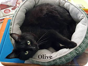 Domestic Shorthair Cat for adoption in Bentonville, Arkansas - Olive