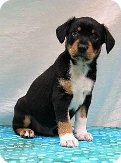 Corgi/Beagle Mix Puppy for adoption in Hagerstown, Maryland - Zane
