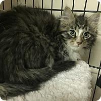 Adopt A Pet :: Preciuos - Forest Hills, NY