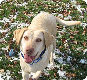 Labrador Retriever Dog for adoption in Winfield, Pennsylvania - Bella Bea
