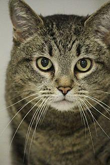 Domestic Shorthair Cat for adoption in Colorado Springs, Colorado - Oracle
