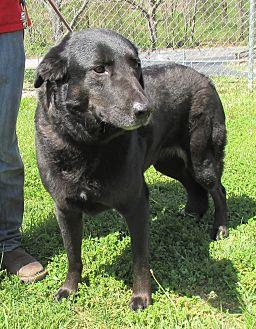 Labrador Retriever/Retriever (Unknown Type) Mix Dog for adoption in Reeds Spring, Missouri - Angel