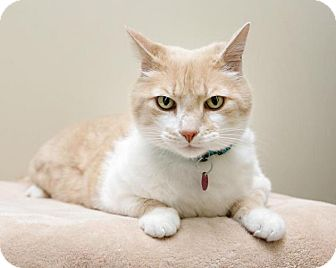 Domestic Shorthair Cat for adoption in Bellingham, Washington - Harvey