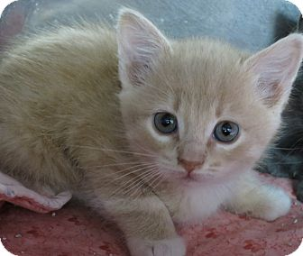 Domestic Shorthair Kitten for adoption in Chino Valley, Arizona - Beth Ann