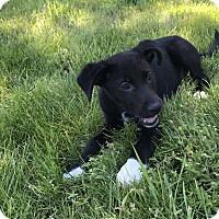 Adopt A Pet :: Cheyenne - Tumwater, WA
