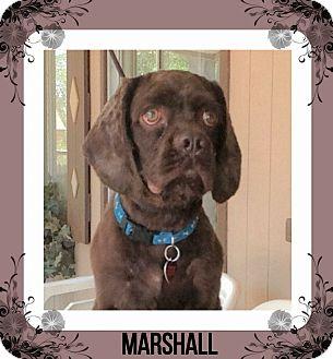 Cocker Spaniel Dog for adoption in Santa Barbara, California - Marshall