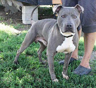 Bulldog/Weimaraner Mix Dog for adoption in Fort Madison, Iowa - Gator