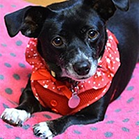 Adopt A Pet :: Sugar 224624 - Petaluma, CA