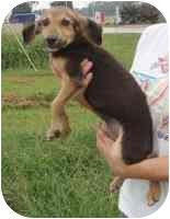 Beagle/Hound (Unknown Type) Mix Puppy for adoption in Salem, New Hampshire - Monte