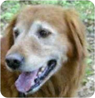 Golden Retriever Dog for adoption in Eatontown, New Jersey - Able