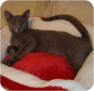 Oriental Kitten for adoption in Tampa, Florida - Andy