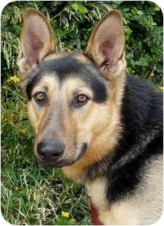 German Shepherd Dog Mix Dog for adoption in Los Angeles, California - Jack von Nicholson