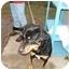 Photo 1 - Rottweiler/Labrador Retriever Mix Dog for adoption in Wallaceburg, Ontario - Brutus