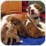Photo 3 - American Pit Bull Terrier Mix Puppy for adoption in Framingham, Massachusetts - Apple