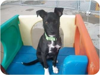 Border Collie/Greyhound Mix Puppy for adoption in Naperville, Illinois - Miley