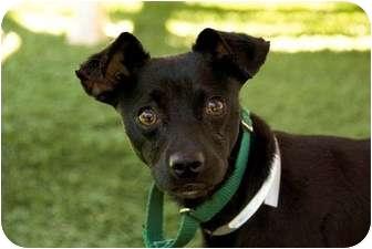 Chihuahua/Whippet Mix Dog for adoption in Sacramento, California - Bruiser