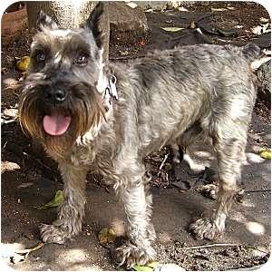 Schnauzer (Miniature) Dog for adoption in Redondo Beach, California - Austin