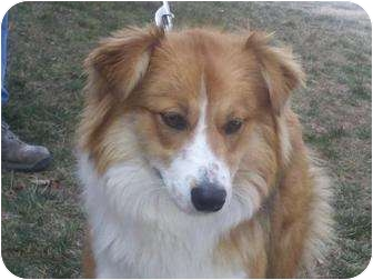 Australian Shepherd Dog for adoption in Windham, New Hampshire - Lucy